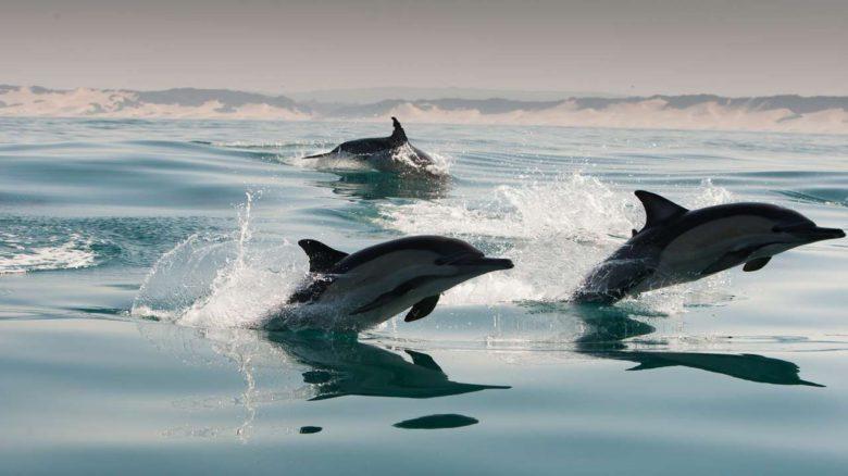 0000051295_e_1280x720_dolphin-trio-port-elizabeth-south-africa